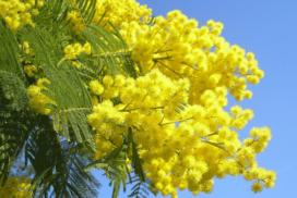 La mimosa, simbolo della lotta delle donne